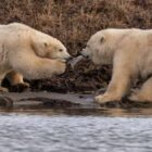 Heartbreaking Pictures Show Starving Polar Bears Fighting Over Plastic Rubbish