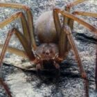 New Species Of Spider Can Rot Human Flesh With One Bite