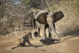 Elephant Charges Lions To Rescue Her Baby Pinned Down By Pride