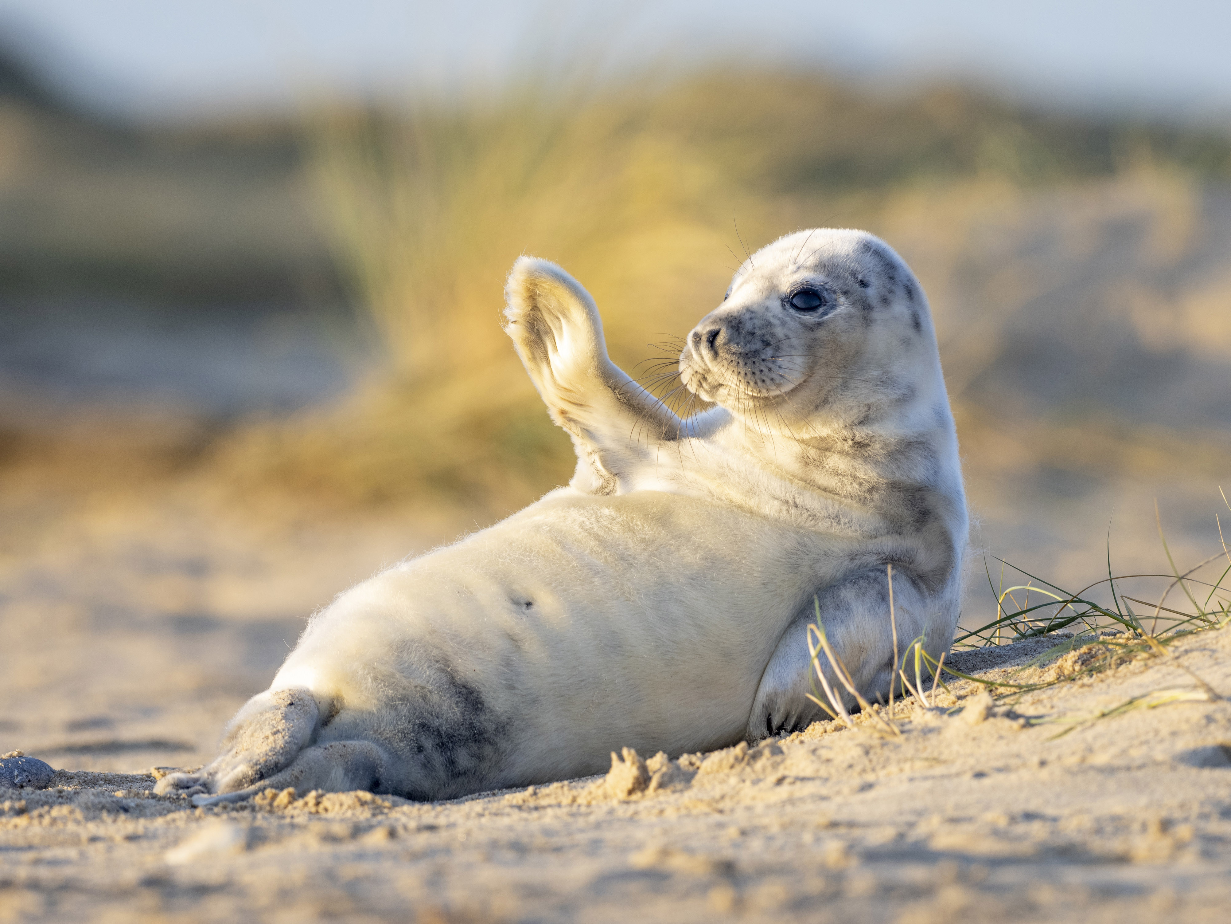 Happy Seal Pup Waves For The Camera On British Beach