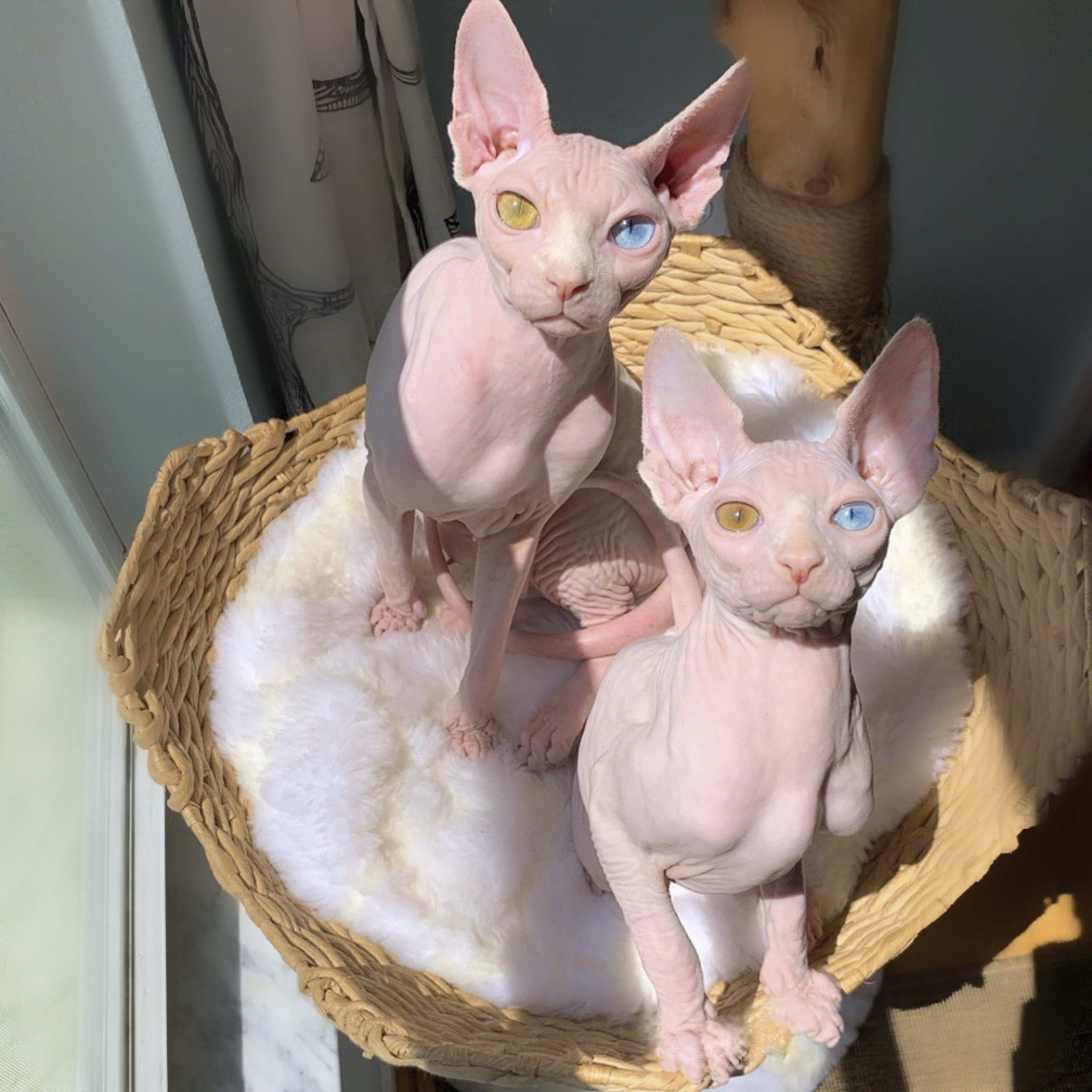 Sphynx Cats Teased For Mismatched Eyes Find Love On Instagram