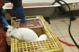 A rabbit bludgeoned to death at a Russian fur farm