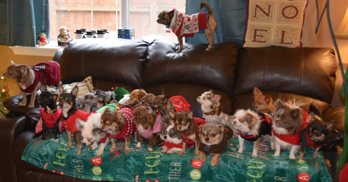 Woman Dresses Her Chihuahuas Up In The Cutest Christmas Outfits