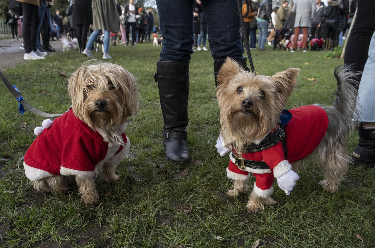 350 Dogs In Christmas Jumpers Break World Record For Biggest Gathering Of Dogs In Christmas Jumpers