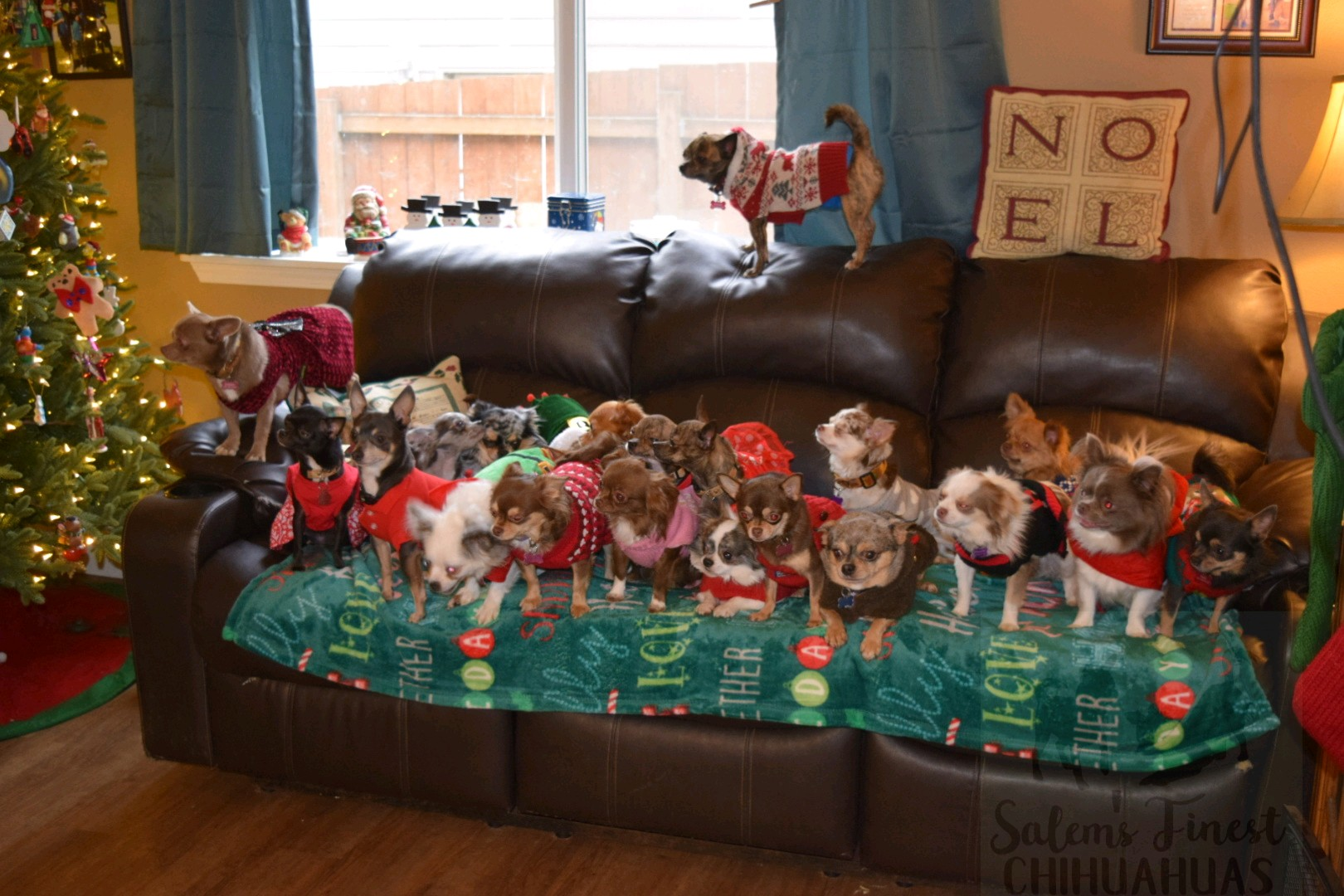 Woman dresses Chihuahuas up in Christmas outfits