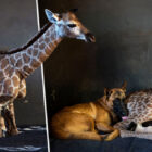 Abandoned Baby Giraffe Befriended By Dog Dies By His Pal's Side