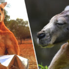 Hench Kangaroo With 'Bad Attitude' Runs Riot In Australian Town