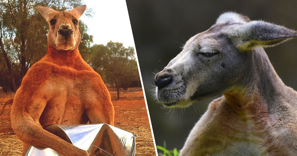 Hench Kangaroo With 'Bad Attitude' Runs Riot In Country Town