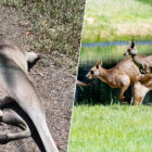 Forty Dead Kangaroos Found At Family Hot Spot Have Locals Convinced A Psychopath Is On The Loose
