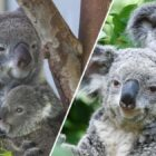 Wild Koala Population 'Will Never Recover' From Australian Bushfires