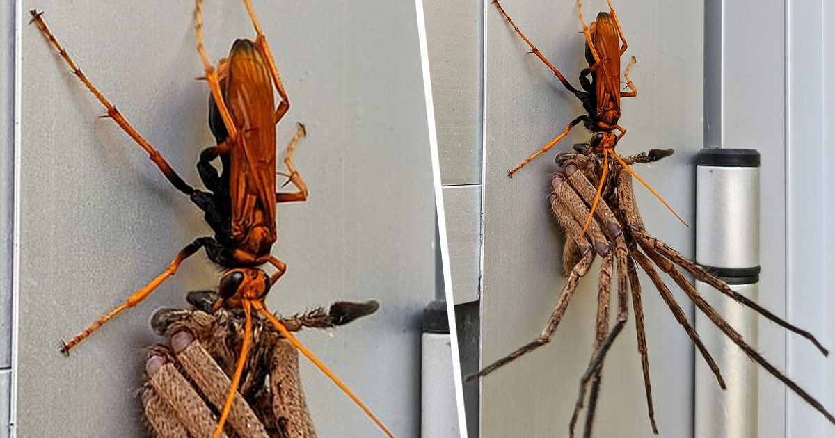 Enormous Hawk Wasp Carries Off Huntsman Spider For Feast In Australia