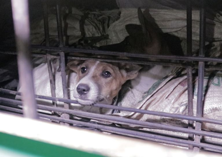 Dogs kept in cramped conditions before being slaughtered for dog meat trade