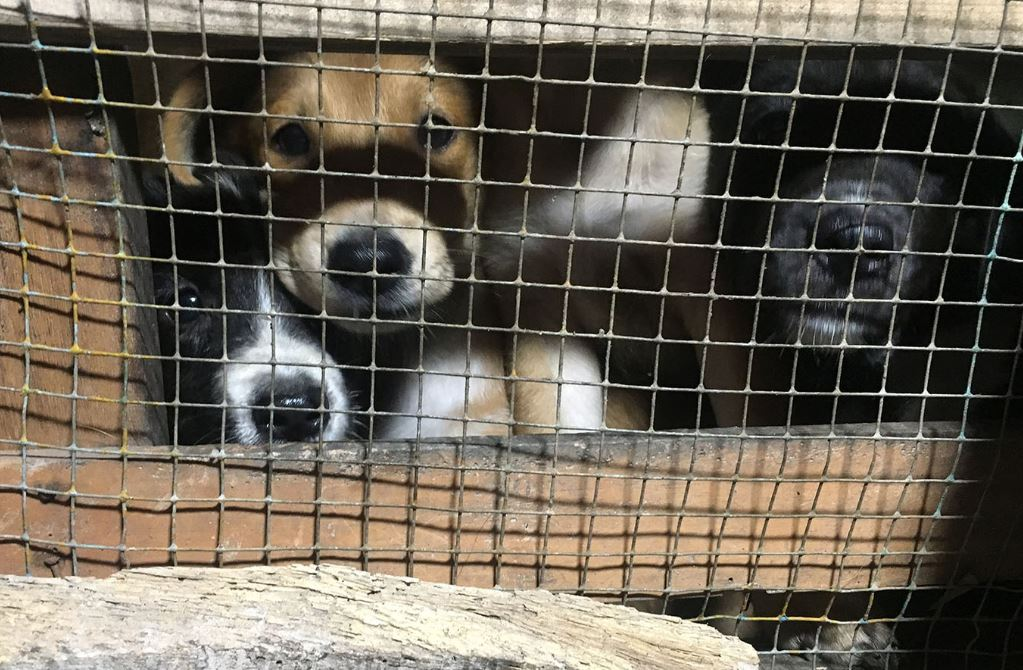 Dogs kept in awful conditions for dog meat trade