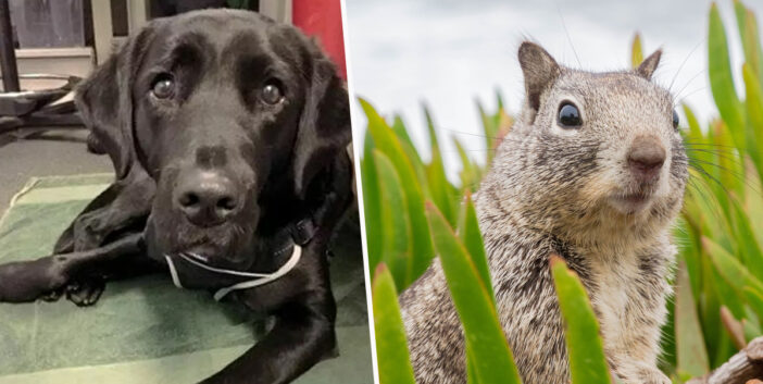 Adorable Pup 'Sacked' From Guide Dog Training For Chasing Too Many Squirrels Re-Trained As Therapy Dog