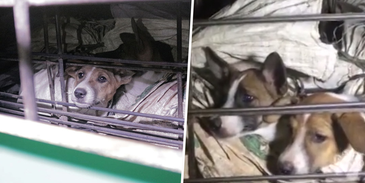 Horrifying Footage Shows Dogs Tied Up In Sacks Before Slaughterhouse