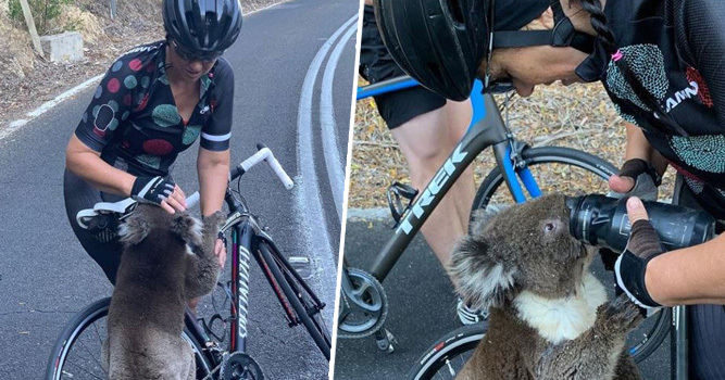 Dehydrated Koala Desperately Flags Down Cyclist For Help