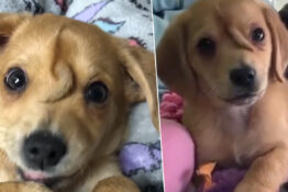 Narwhal The Unicorn Puppy With Tail On His Head Finds Forever Home