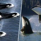 Orca Grannies Increase The Survival Rate Of Their Grandchildren