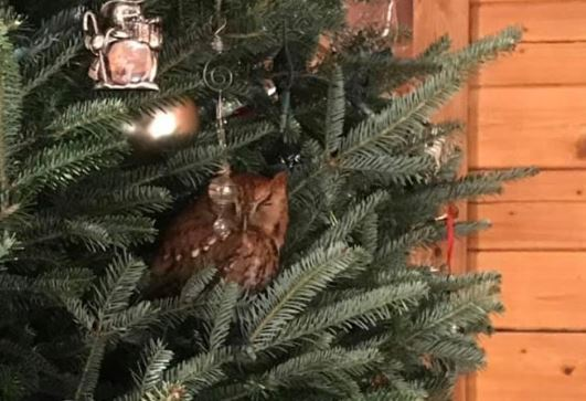 Owl found nestled in branches of family's Christmas tree