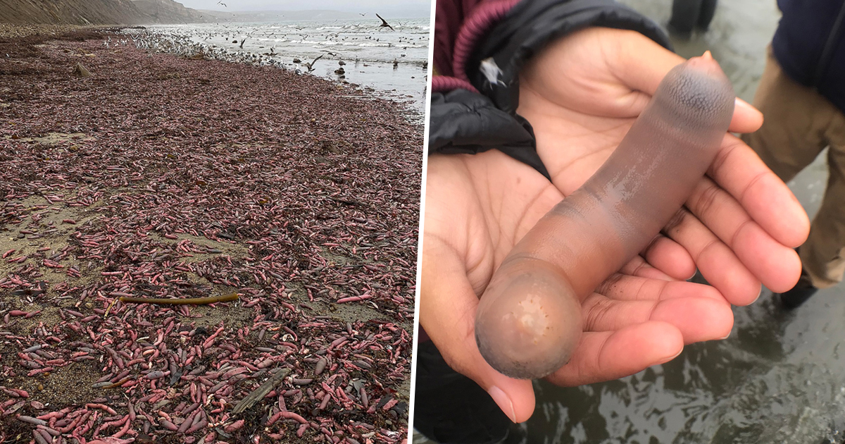 Thousands Of 'Penis-Fish' Washed Ashore On A California Beach