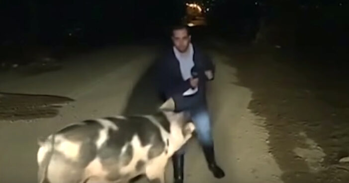 Journalist Chased By Huge Pig As They Try To Read The News