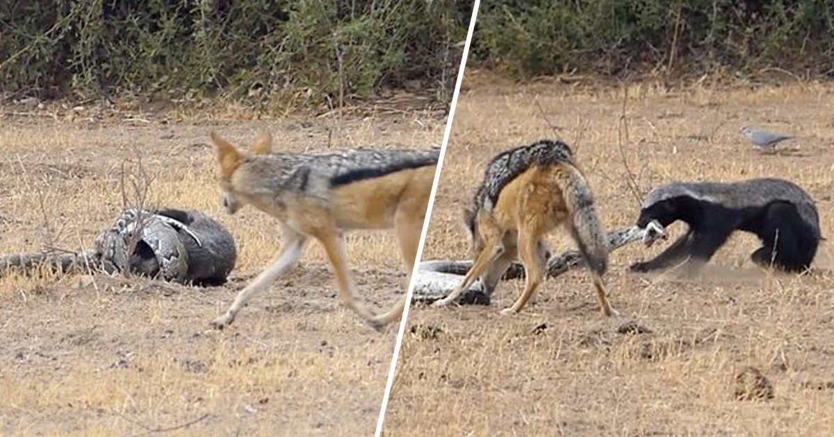 Python Immediately Regrets Scrapping With Honey Badger