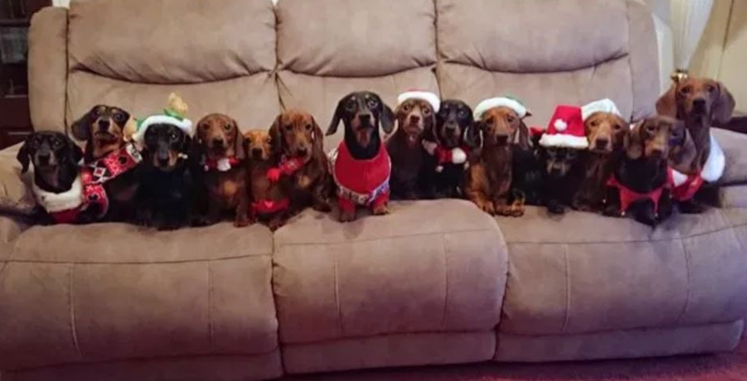 Man Lines Up His 17 Sausage Dogs Wearing Festive Jumpers For The Perfect Christmas Photo