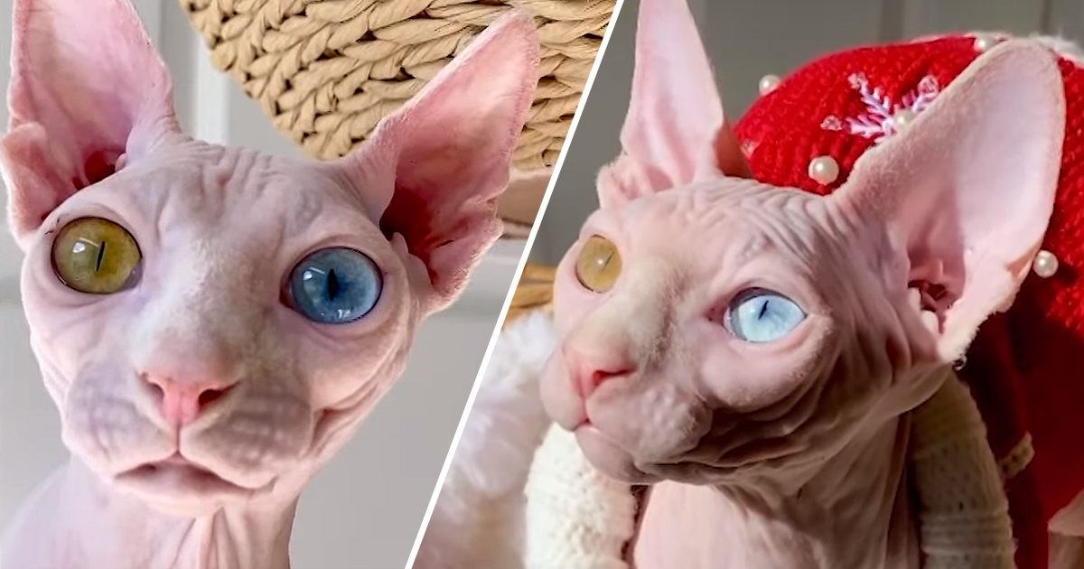 Sphinx Cats Teased For Mismatched Eyes Find Love On Instagram