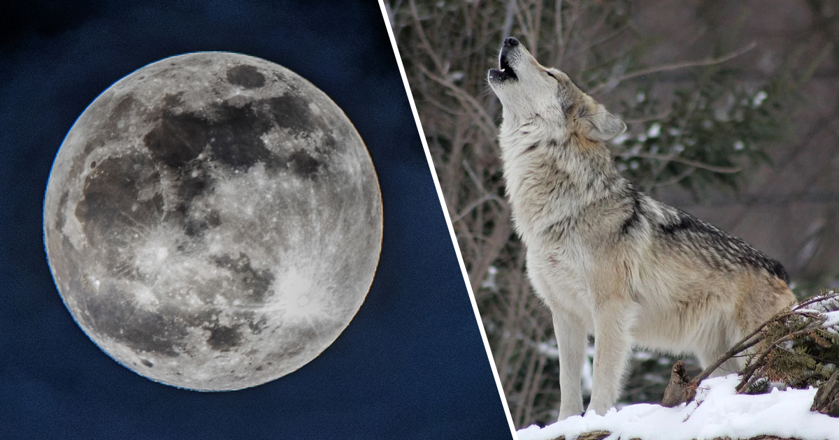 Full Wolf Moon Thumb