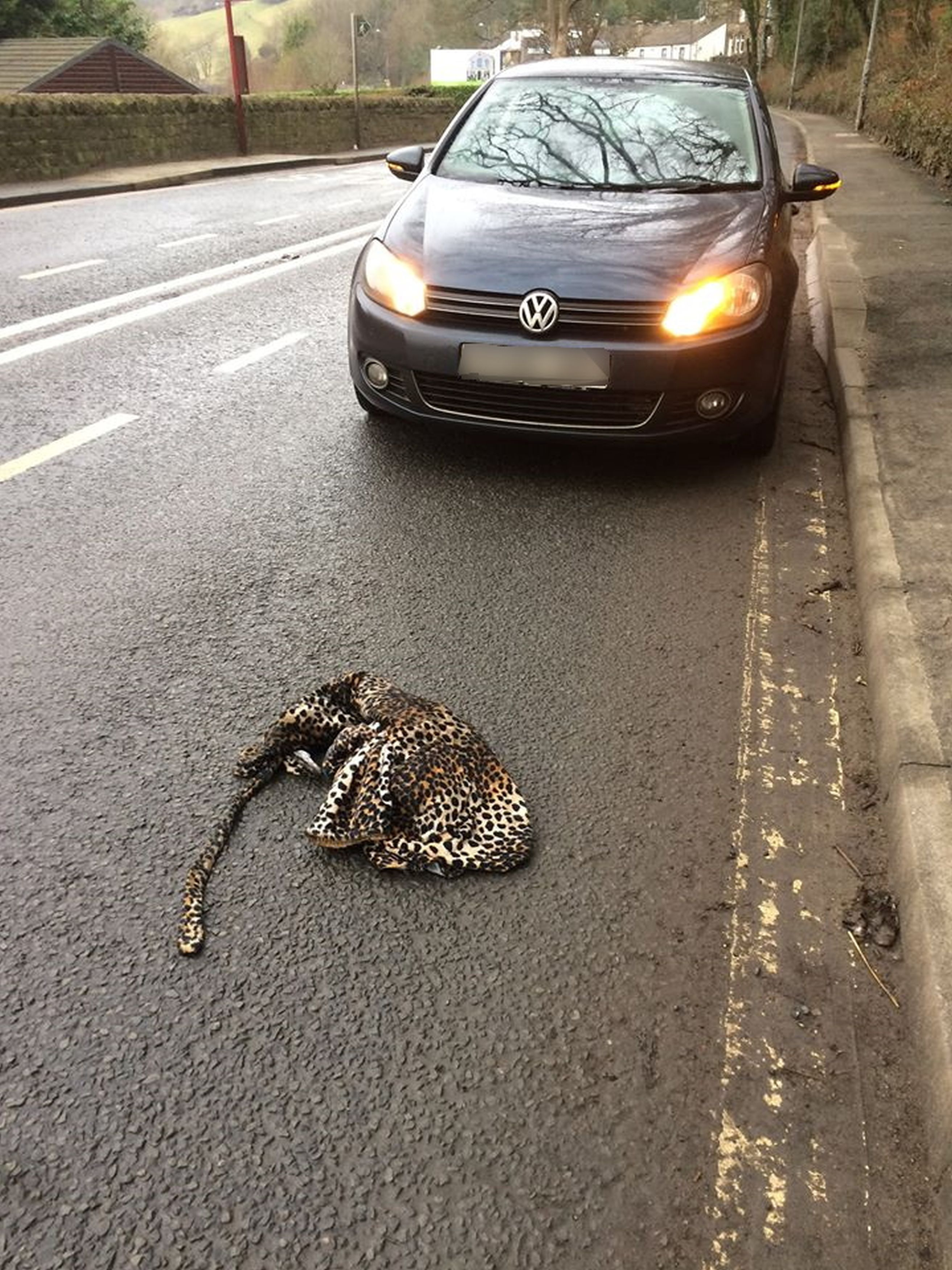 dad thinks he sees leopard on road