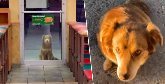 Stray Dog Visits Subway Restaurant In New Mexico Every Day For Free Food