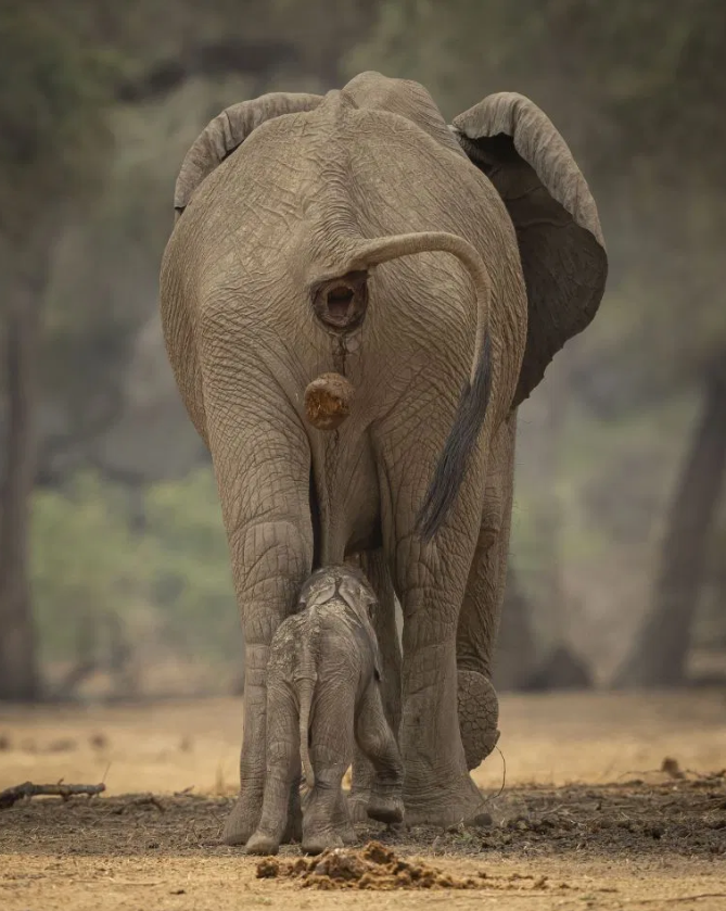 Elephant Caught Pooing Directly On To Its Baby's Head