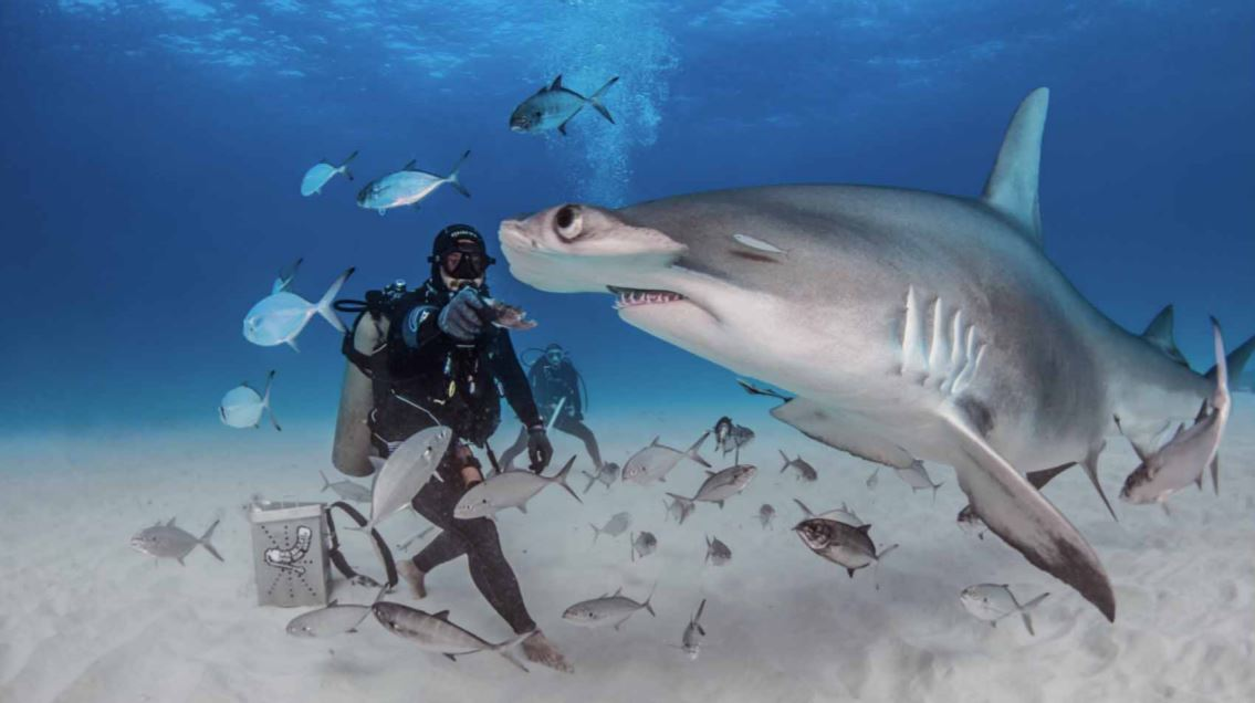 great hammerhead sharks picture