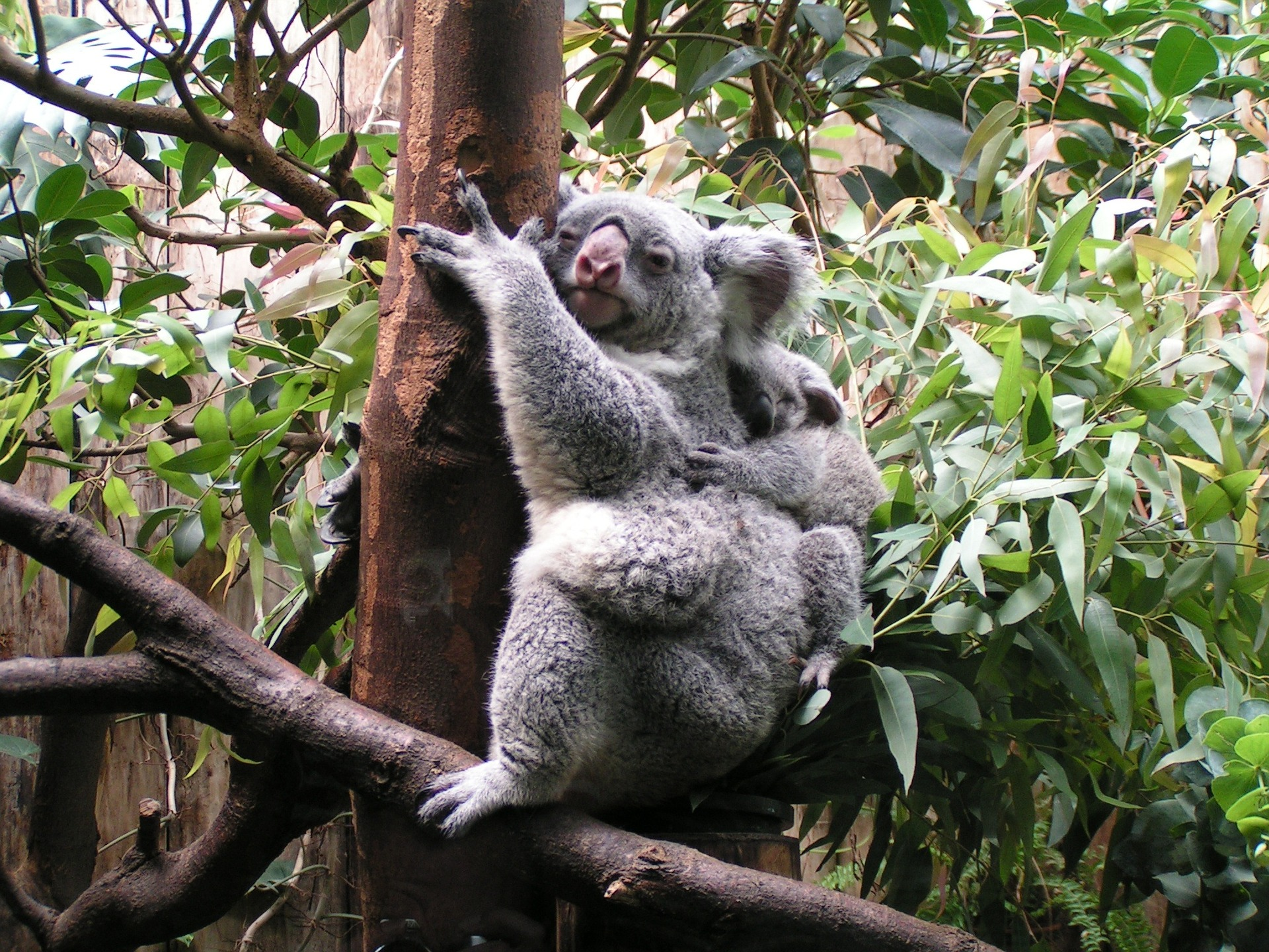 Baby koala clinging to its mum