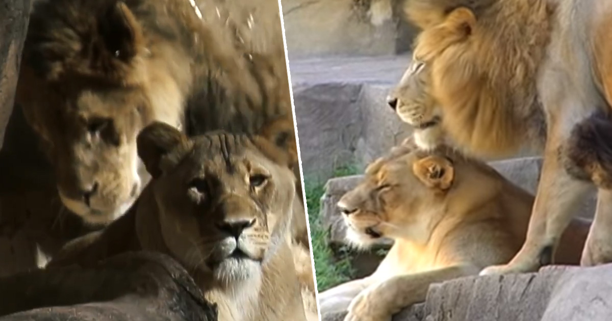 Inseparable Bonded Lion Couple Dies Just Days Apart At Chicago Zoo