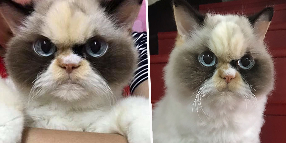People Think This Angry Feline Is The New Grumpy Cat
