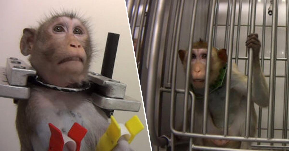 German Lab Where Monkeys Filmed Screaming Ordered To Hand Over All Animals