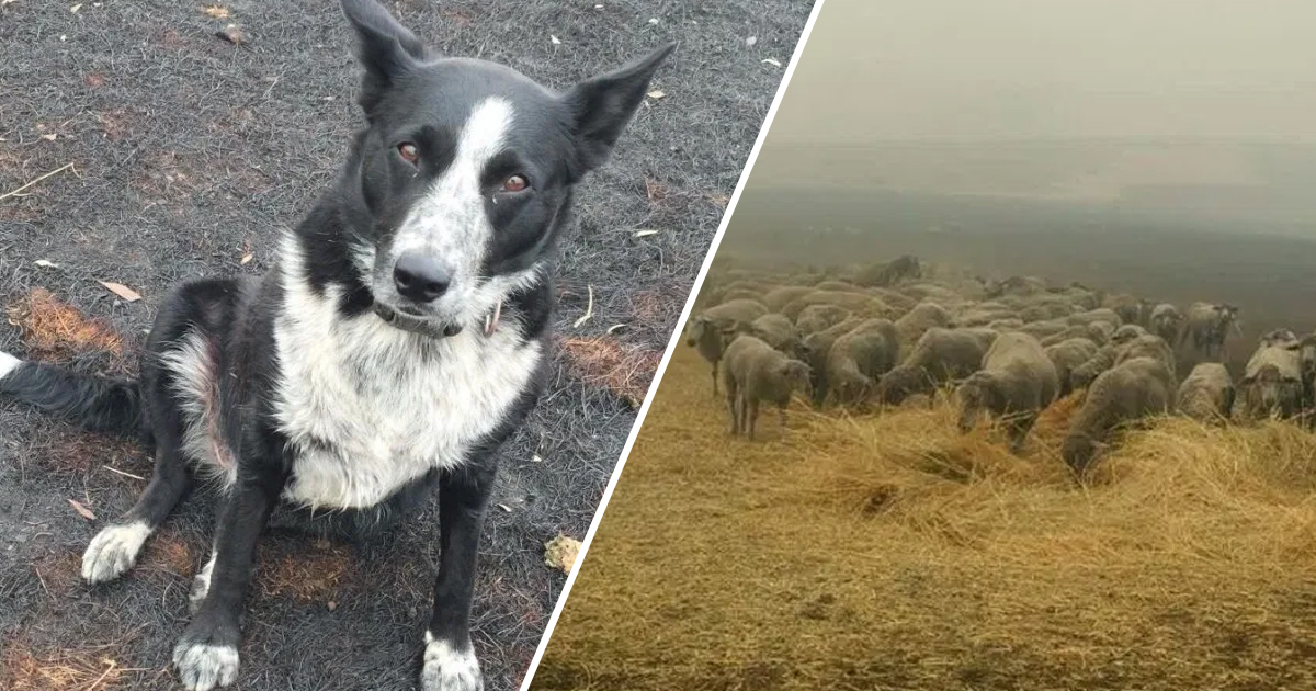 Border Collie Saves Flock Of Sheep From Wall Of Fire In Victoria, Australia