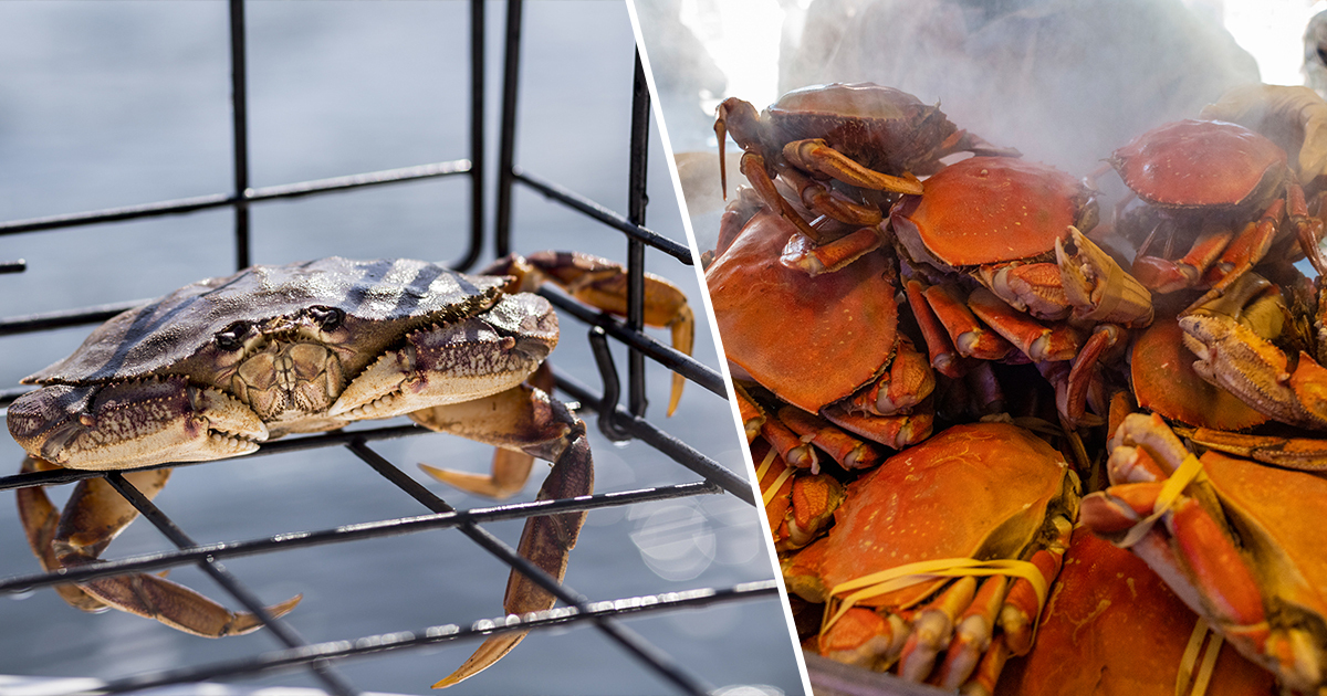Pacific Ocean Is So Acidic That It's Dissolving Dungeness Crabs, Study Finds