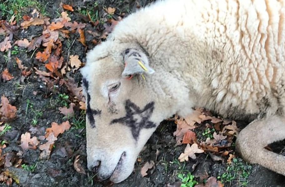 Sheep Satanic Symbols