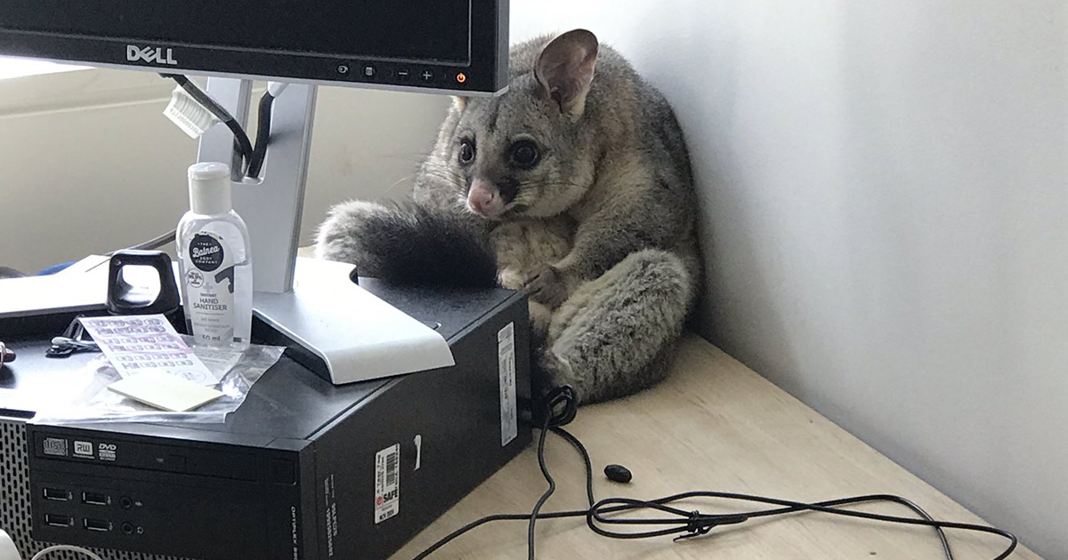 sorry looking possum trashes office 1