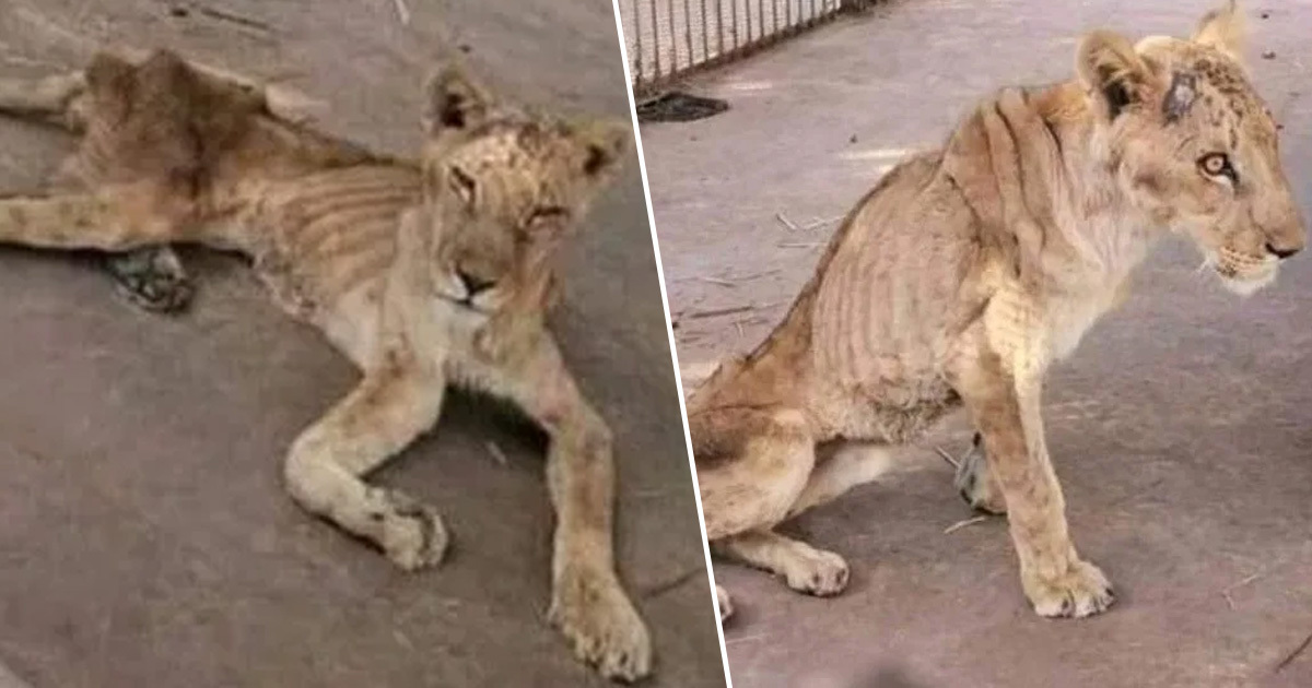 Starved Lions Pictured In One Of World's Worst Zoos Reveals Horrifying Conditions