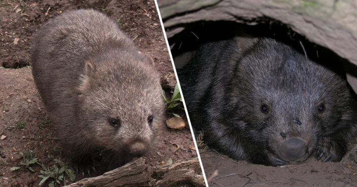Wombats Share Their Burrows With Animals Displaced In Bushfires