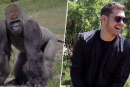 Buble sings to Gorillas