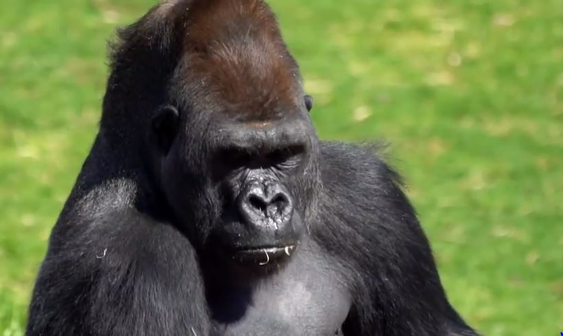 Zoo Gorillas Obsessed With Michael Bublé's Christmas Album Treated To Private Concert
