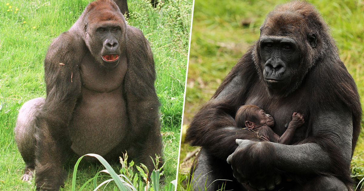 Pregnant Mountain Gorilla Found Dead Due To Lightning Strike