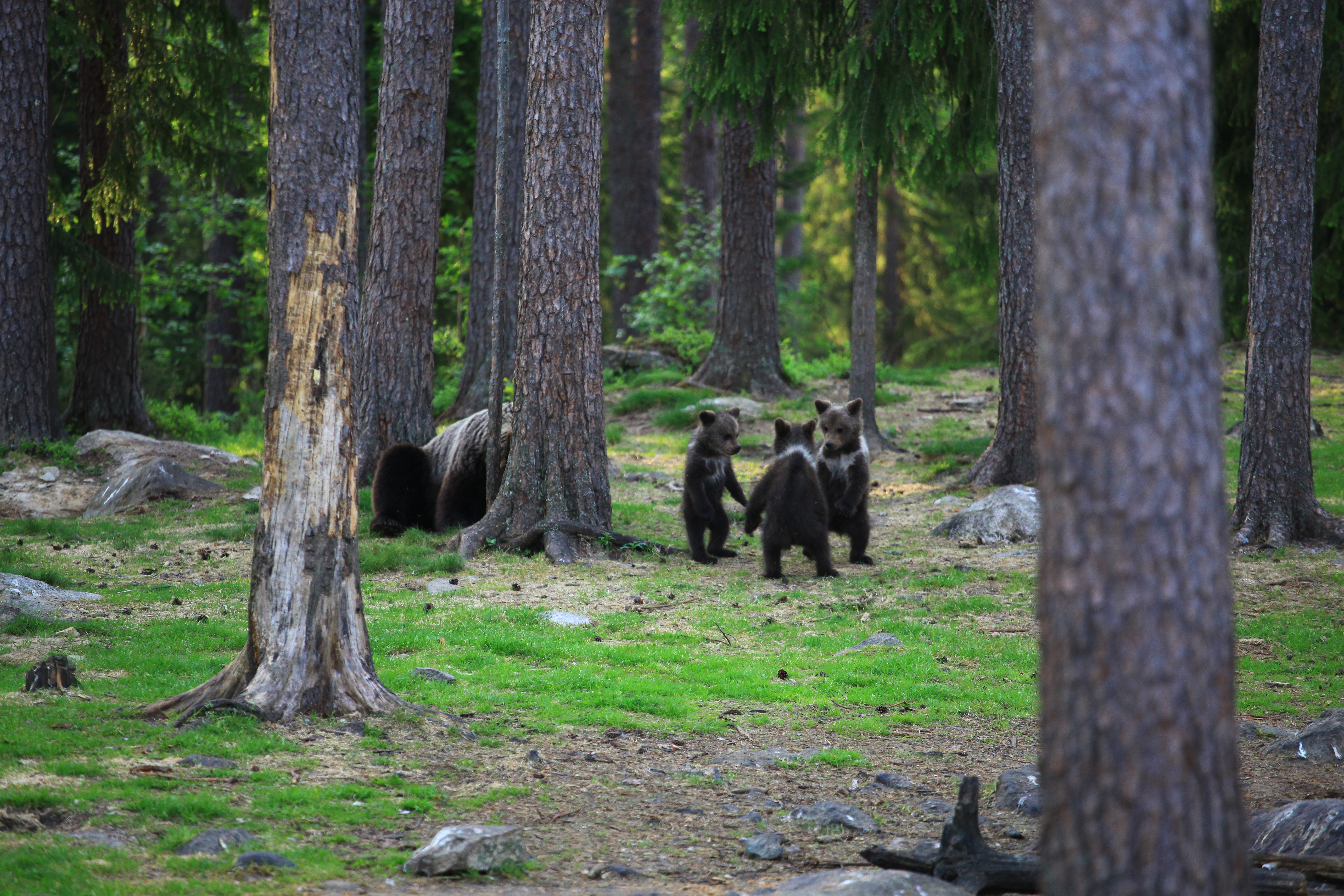 Photographer Captures Three Bear Cubs 'Dancing' In The Forest