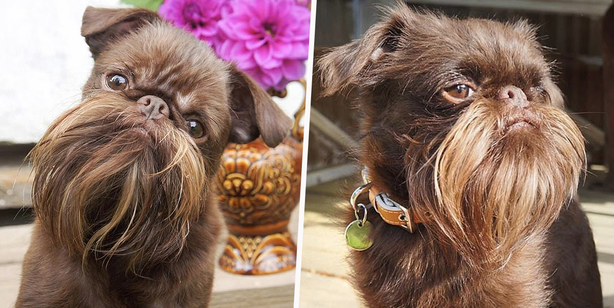 Hipster Dog Nicknamed Chewbacca Has Fully-Grown Beard Of Dreams