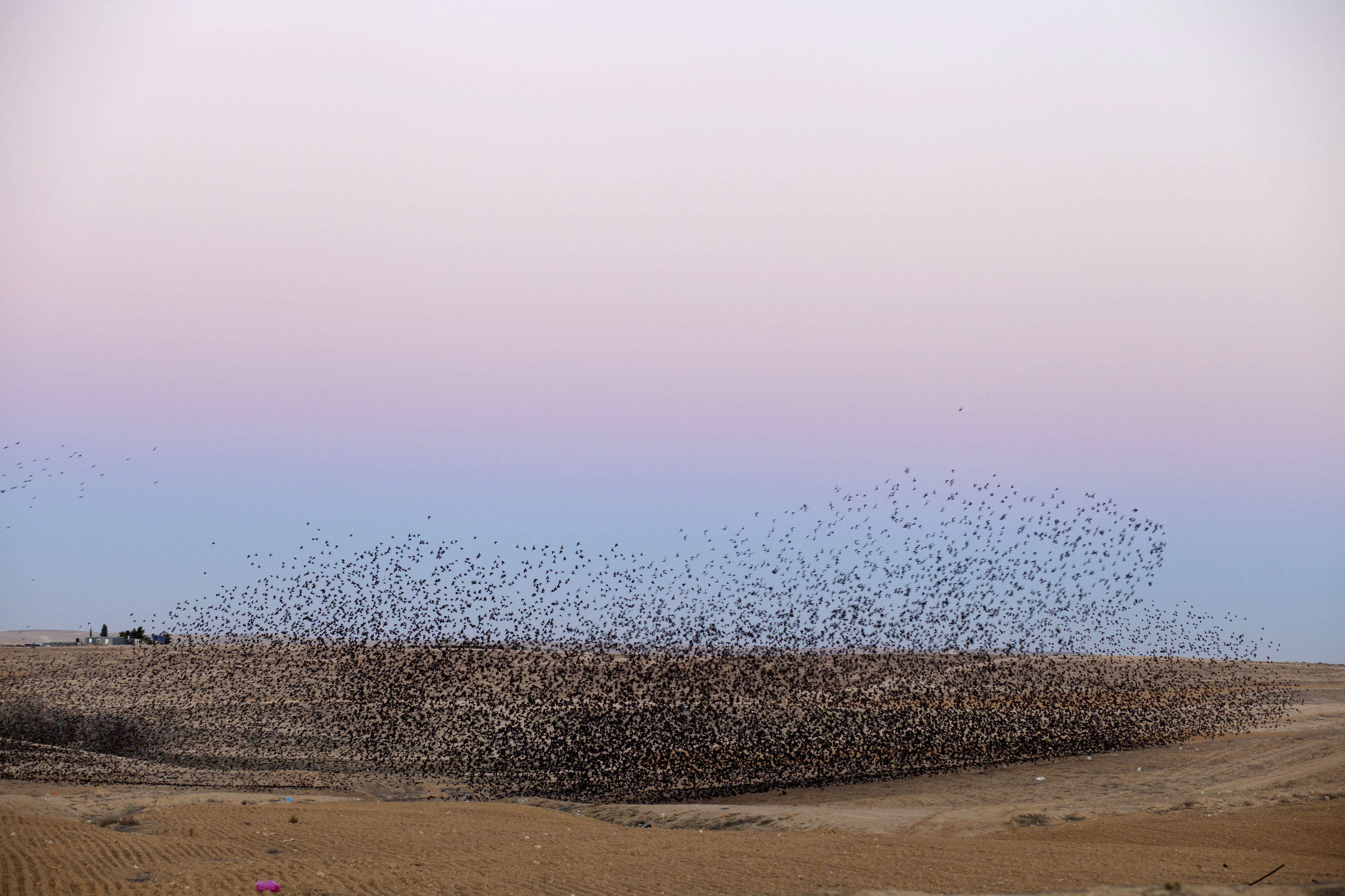 Flocks of Starlings In Southern Israel