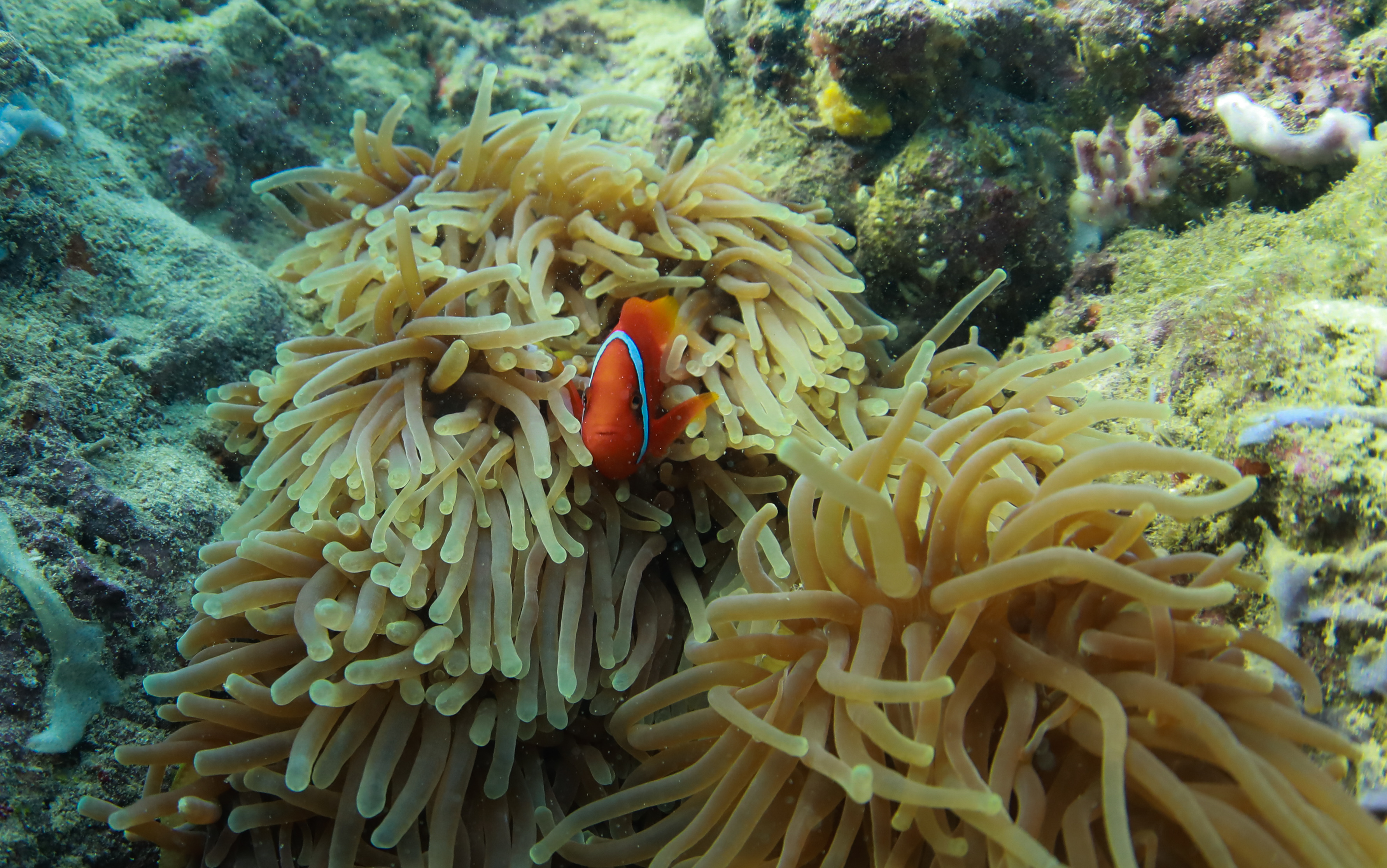 Clownfish Coral Reefs
